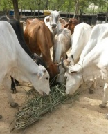 Cow's urine could be used to clean government offices in India